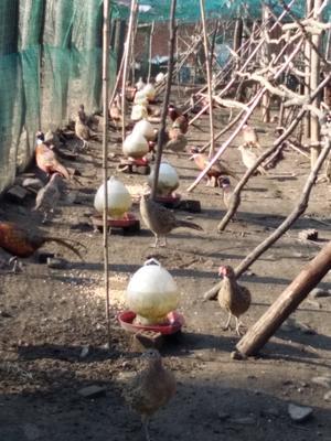 河南平顶山舞钢市七彩山鸡 3-4斤