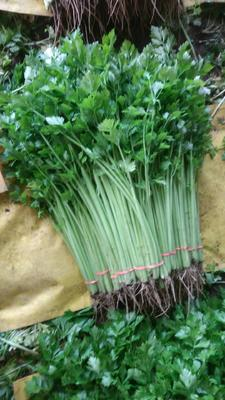 山东省聊城市阳谷县香芹 55~60cm 大棚种植 0.5~1.0斤