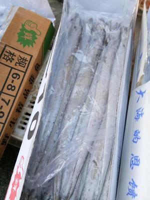 山东滨州沾化区东海带鱼 野生 1-1.5龙8国际官网官方网站