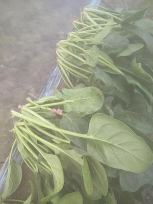 河北衡水冀州市大叶菠菜 20~25cm