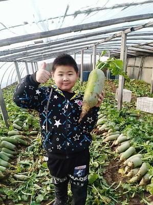 天津东丽区青皮萝卜 1~1.5斤