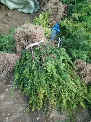 辽宁沈阳大东区东北红豆杉 1.5~2米
