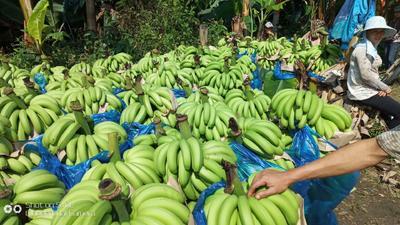 云南红河金平苗族瑶族傣族自治县河口香蕉 八成熟 40斤以下