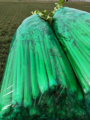 安徽省宿州市砀山县皇妃芹菜 55~60cm 大棚种植 0.5~1.0斤