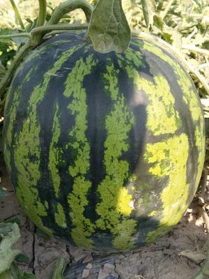 云南西双版纳勐海县甜王西瓜 有籽 1茬 8成熟 3斤打底