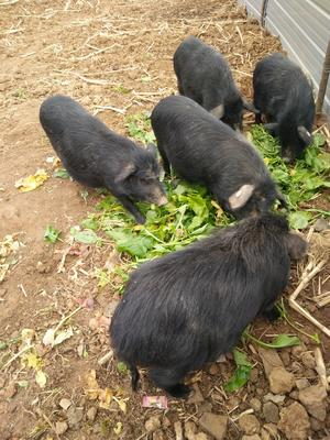 四川绵阳江油市藏香猪 40-60斤