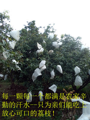 广东茂名高州市妃子笑荔枝 2cm