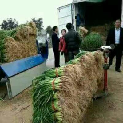 河南许昌禹州市红根蒜苗 40 - 45cm