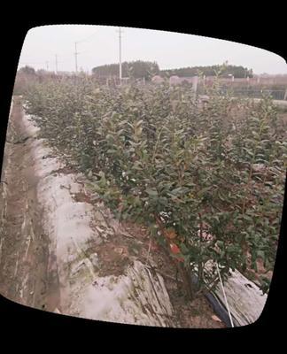 江苏连云港赣榆区蓝丰蓝莓 鲜果 12 - 14mm以上