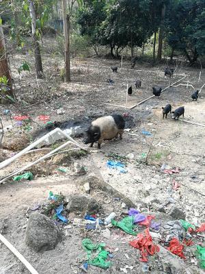 福建泉州南安市野香猪 40-60斤
