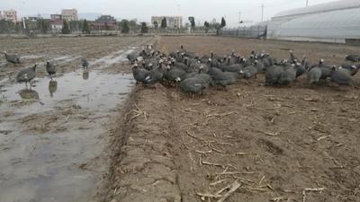 浙江温州乐清市灰色珍珠鸡 4-6斤