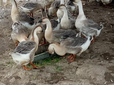 广西南宁上林县狮头鹅 统货 全散养 10-12斤