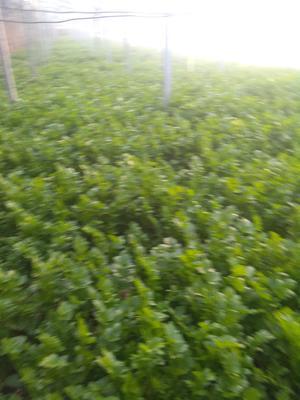陕西省西安市高陵县加州王芹菜 60cm以上 大棚种植 0.5~1.0斤