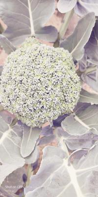 广西壮族自治区南宁市江南区圣绿西兰花 0.5~0.8斤 10cm以下