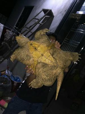 广东茂名电白区鳄龟 20-30cm 6-8斤