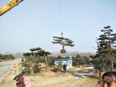 山东省泰安市岱岳区造型黑松油松