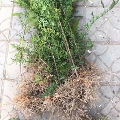 福建宁德屏南县南方红豆杉 0.5米以下