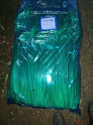 山东潍坊安丘市绿帽蒜苔 一茬 50~60cm 精品