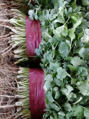 河南安阳滑县越冬菠菜 20~25cm