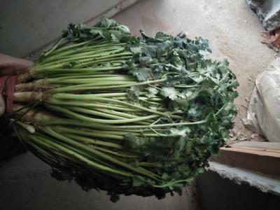 山东日照五莲县大叶香菜 30~35cm