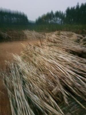 广西贵港覃塘区糖蔗 2.5 - 3m 3 - 4cm