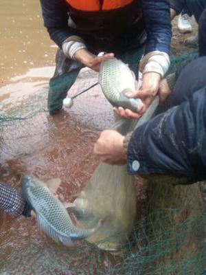 贵州遵义赤水市生态草鱼 野生 1-2.5龙8国际官网官方网站