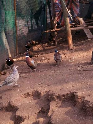 贵州黔西普安县七彩山鸡 2-3斤