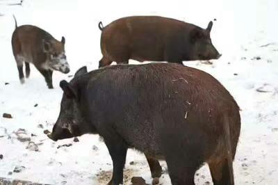 黑龙江牡丹江海林市猪肠