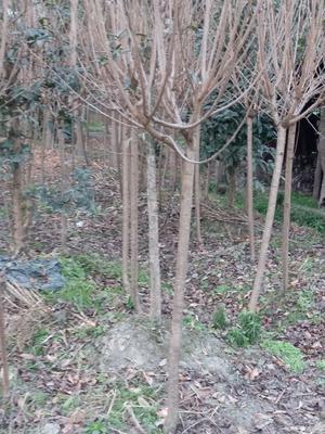 四川成都郫县中国红樱 4~6公分 2~3米