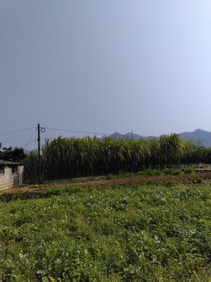 广西玉林博白县黑皮甘蔗 2.5 - 3m 5 - 6cm