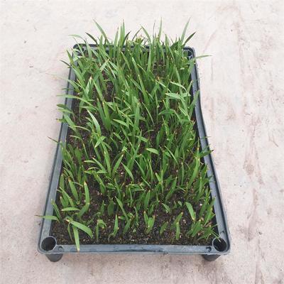广东省广州市荔湾区华盛顿的华棕  老人葵种苗