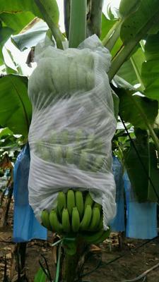 云南西双版纳勐腊县巴西香蕉 七成熟 40 - 50斤