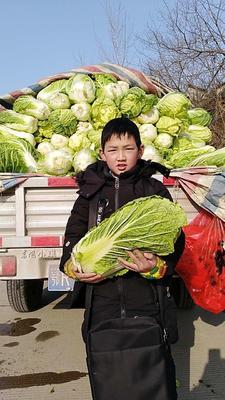湖北省天门市天门市傲雪迎春白菜 6~10斤 净菜