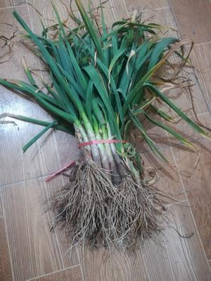 陕西渭南临渭区红根蒜苗 40 - 45cm