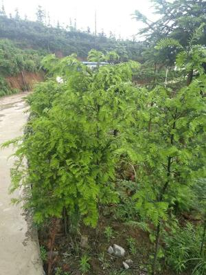 贵州安顺平坝县云南红豆杉 3.5米~5米