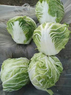 河南省开封市通许县北京三号大白菜 3~6斤 净菜