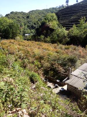 云南思茅思茅区南方红豆杉 2.0~2.5米