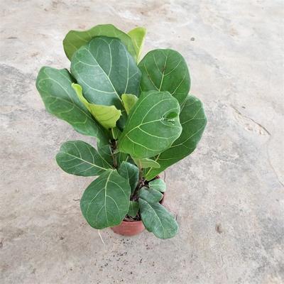 广东广州荔湾区琴叶榕盆栽