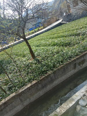 安徽宣城宁国市绿化用阔叶麦冬