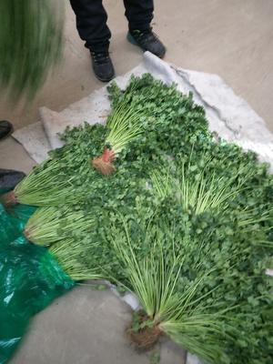 山东青岛平度市小叶香菜 35cm以上