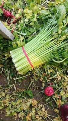 安徽省宿州市砀山县玻璃脆芹菜 50~55cm 大棚种植 0.5斤以下