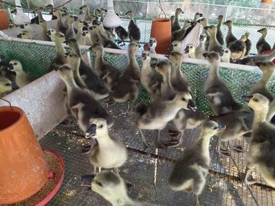 江苏扬州江都区狮头鹅苗