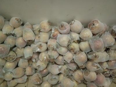 河南省洛阳市西工区蜜露软籽 0.6 - 0.8斤