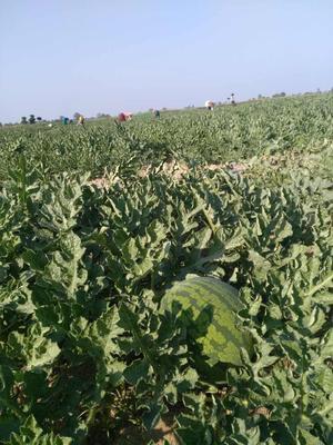 云南德宏瑞丽市甜王西瓜 有籽 1茬 8成熟 8斤打底
