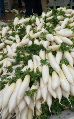 浙江台州临海市白萝卜 1~1.5斤