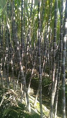 广西玉林博白县黑皮甘蔗 2 - 2.5m 4 - 5cm