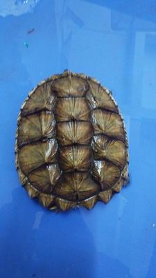 广东茂名电白区佛杂鳄龟 30-50cm 4-6斤