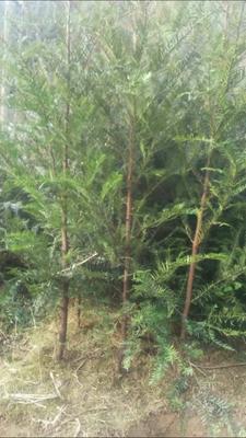 湖南张家界桑植县湘西红豆杉 1.5~2米