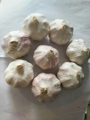 河北衡水安平县红皮大蒜 5.5cm 多瓣蒜