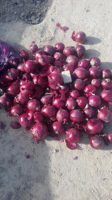 甘肃金昌金川区紫皮洋葱 8cm以上 紫皮 4两以上